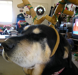 Keoki With Christmas Antlers